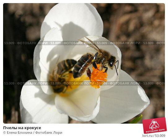 Пчелы на крокусе, фото № 53009, снято 27 марта 2007 г. (c) Елена Блохина / Фотобанк Лори