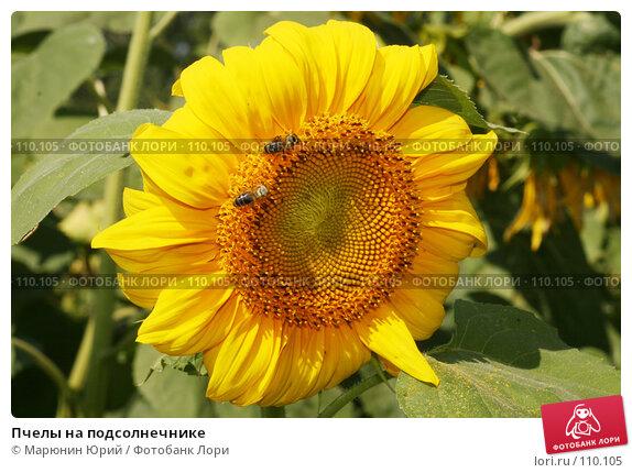 Пчелы на подсолнечнике, фото № 110105, снято 12 августа 2007 г. (c) Марюнин Юрий / Фотобанк Лори