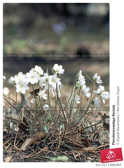 Купить «Печёночница белая», фото № 1664861, снято 25 апреля 2010 г. (c) Юрий Василенко / Фотобанк Лори