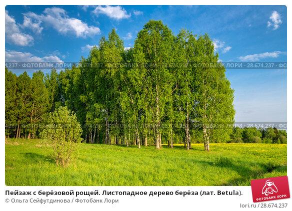 Купить «Пейзаж с берёзовой рощей. Листопадное дерево берёза (лат. Betula).», фото № 28674237, снято 13 мая 2018 г. (c) Ольга Сейфутдинова / Фотобанк Лори