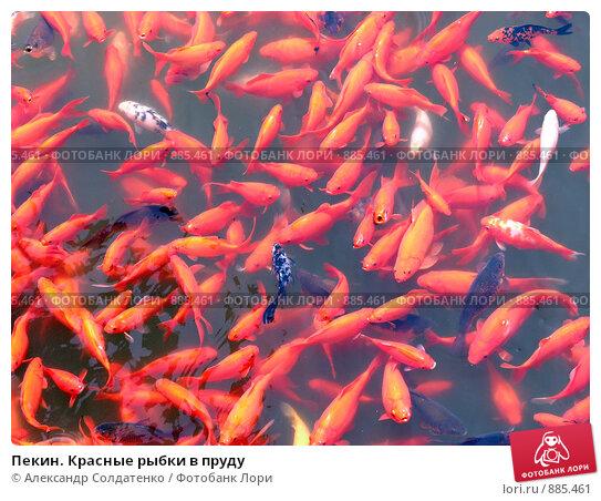Купить «Пекин. Красные рыбки в пруду», фото № 885461, снято 25 апреля 2009 г. (c) Александр Солдатенко / Фотобанк Лори