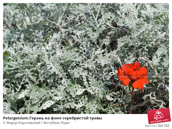 Pelargonium.Герань на фоне серебристой травы, фото № 269765, снято 1 мая 2008 г. (c) Федор Королевский / Фотобанк Лори