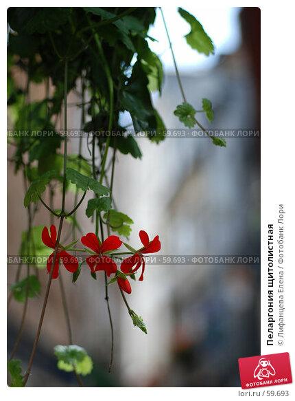 Пеларгония щитолистная, фото № 59693, снято 25 мая 2017 г. (c) Лифанцева Елена / Фотобанк Лори