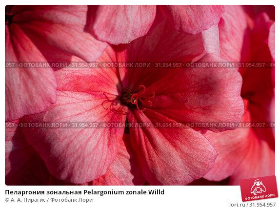 Купить «Пеларгония зональная Pelargonium zonale Willd», фото № 31954957, снято 14 июля 2019 г. (c) А. А. Пирагис / Фотобанк Лори