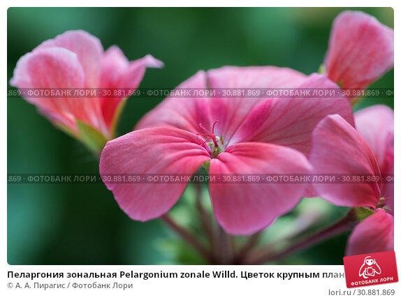 Купить «Пеларгония зональная Pelargonium zonale Willd. Цветок крупным планом», фото № 30881869, снято 5 июня 2019 г. (c) А. А. Пирагис / Фотобанк Лори