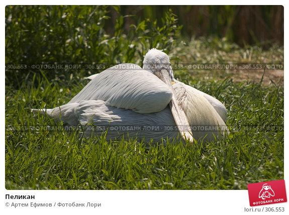 Купить «Пеликан», фото № 306553, снято 4 мая 2008 г. (c) Артем Ефимов / Фотобанк Лори