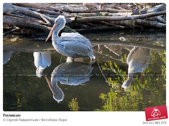 Купить «Пеликан», фото № 481573, снято 26 сентября 2008 г. (c) Сергей Лаврентьев / Фотобанк Лори