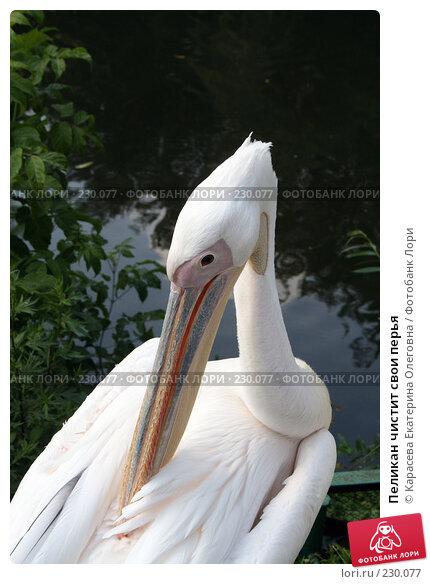Пеликан чистит свои перья, фото № 230077, снято 11 июля 2007 г. (c) Карасева Екатерина Олеговна / Фотобанк Лори