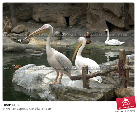 Пеликаны, фото № 215969, снято 13 июля 2007 г. (c) Хижняк Сергей / Фотобанк Лори
