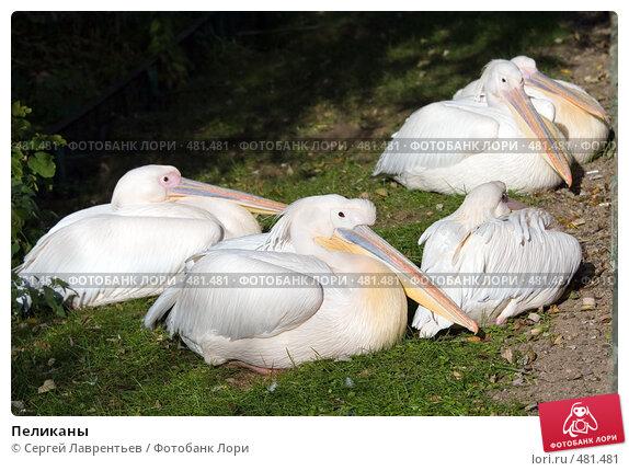 Пеликаны, фото № 481481, снято 26 сентября 2008 г. (c) Сергей Лаврентьев / Фотобанк Лори