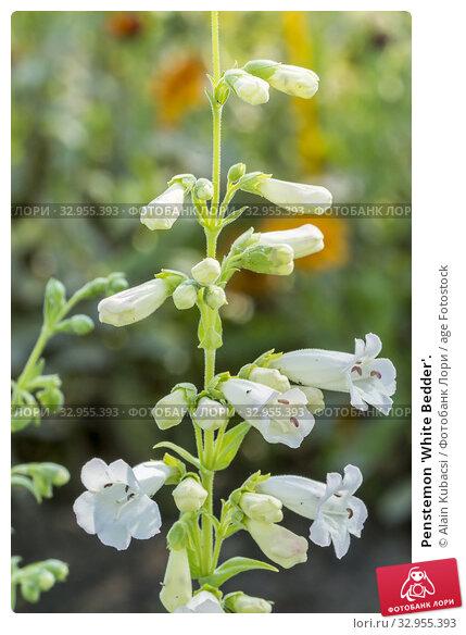 Penstemon 'White Bedder'. Стоковое фото, фотограф Alain Kubacsi / age Fotostock / Фотобанк Лори