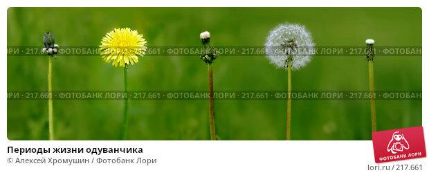 Периоды жизни одуванчика, фото № 217661, снято 3 июня 2006 г. (c) Алексей Хромушин / Фотобанк Лори