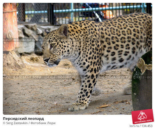 Персидский леопард, фото № 134453, снято 10 октября 2004 г. (c) Serg Zastavkin / Фотобанк Лори