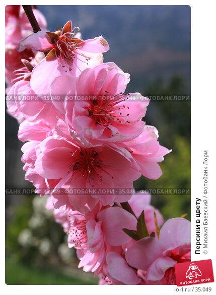 Персики в цвету, фото № 35049, снято 21 апреля 2007 г. (c) Михаил Баевский / Фотобанк Лори