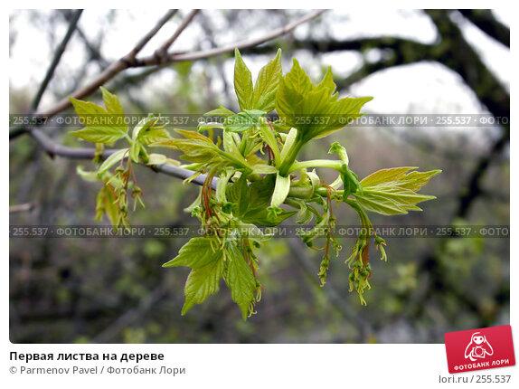 Первая листва на дереве, фото № 255537, снято 17 апреля 2008 г. (c) Parmenov Pavel / Фотобанк Лори