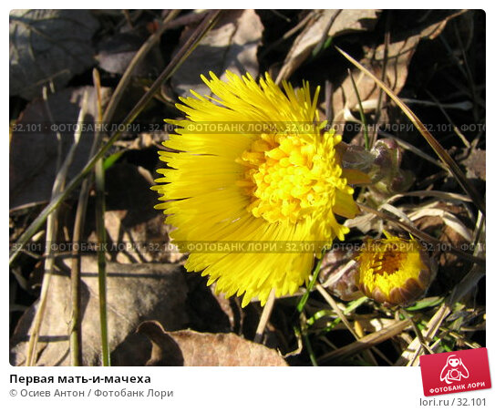 Первая мать-и-мачеха, фото № 32101, снято 1 апреля 2007 г. (c) Осиев Антон / Фотобанк Лори
