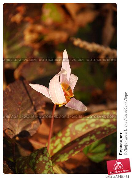 Первоцвет, фото № 240461, снято 27 марта 2008 г. (c) Лифанцева Елена / Фотобанк Лори
