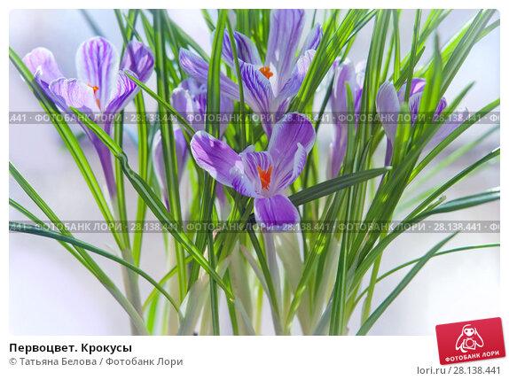 Купить «Первоцвет. Крокусы», фото № 28138441, снято 27 февраля 2018 г. (c) Татьяна Белова / Фотобанк Лори
