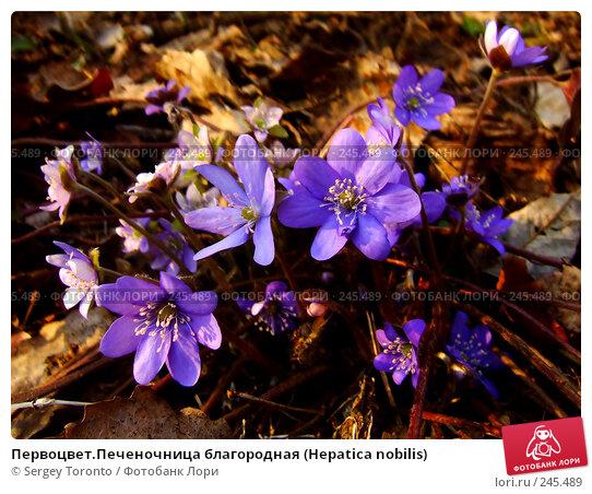 Купить «Первоцвет.Печеночница благородная (Hepatica nobilis)», фото № 245489, снято 5 апреля 2008 г. (c) Sergey Toronto / Фотобанк Лори