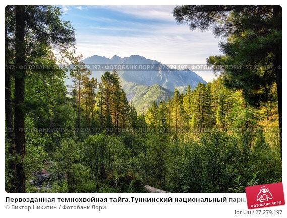 Купить «Первозданная темнохвойная тайга.Тункинский национальный парк. Бурятия», фото № 27279197, снято 18 июля 2017 г. (c) Виктор Никитин / Фотобанк Лори