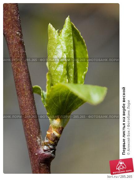 Купить «Первые листья на вербе весной», эксклюзивное фото № 285265, снято 26 апреля 2008 г. (c) Алексей Бок / Фотобанк Лори