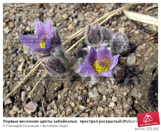 Первые весенние цветы забайкалья,  прострел раскрытый (Pulsatilla patens), фото № 272525, снято 5 мая 2008 г. (c) Геннадий Соловьев / Фотобанк Лори