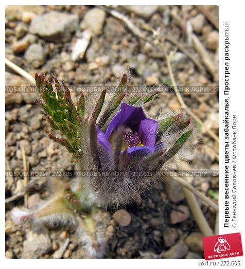Первые весенние цветы забайкалья, Прострел раскрытый, фото № 272605, снято 5 мая 2008 г. (c) Геннадий Соловьев / Фотобанк Лори