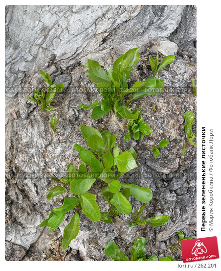 Первые зелененькие листочки, фото № 262201, снято 19 апреля 2008 г. (c) Мария Коробкина / Фотобанк Лори