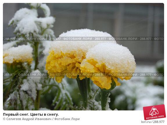 Первый снег. Цветы в снегу., фото № 288977, снято 4 октября 2006 г. (c) Селигеев Андрей Иванович / Фотобанк Лори
