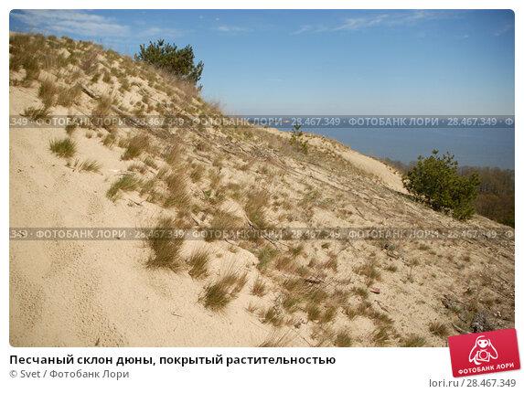 Песчаный склон дюны, покрытый растительностью. Стоковое фото, фотограф Svet / Фотобанк Лори