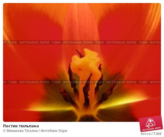 Пестик тюльпана, фото № 7069, снято 8 марта 2006 г. (c) Минакова Татьяна / Фотобанк Лори