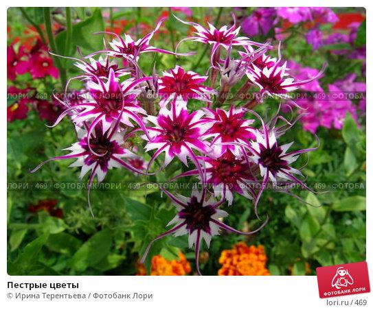 Купить «Пестрые цветы», фото № 469, снято 13 июля 2004 г. (c) Ирина Терентьева / Фотобанк Лори