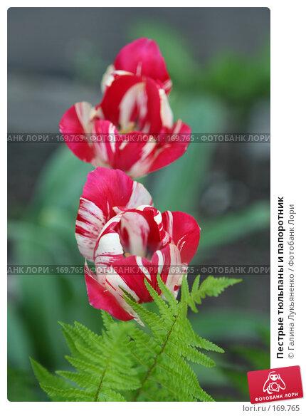 Купить «Пестрые тюльпаны и папоротник», фото № 169765, снято 19 мая 2007 г. (c) Галина Лукьяненко / Фотобанк Лори