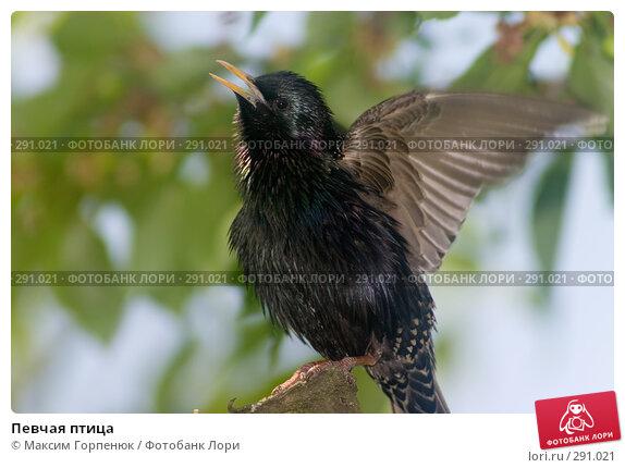 Певчая птица, фото № 291021, снято 26 мая 2005 г. (c) Максим Горпенюк / Фотобанк Лори