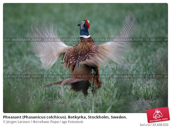 Купить «Pheasant (Phasanicus colchicus). Botkyrka, Stockholm, Sweden.», фото № 33438033, снято 19 мая 2019 г. (c) age Fotostock / Фотобанк Лори