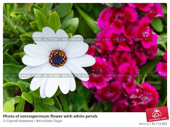 Photo of osteospermum flower with white petals. Стоковое фото, фотограф Сергей Новиков / Фотобанк Лори
