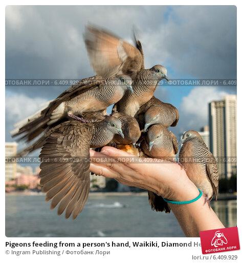 Купить «Pigeons feeding from a person's hand, Waikiki, Diamond Head, Kapahulu, St. Louis, Honolulu, Oahu, Hawaii, USA», фото № 6409929, снято 5 февраля 2013 г. (c) Ingram Publishing / Фотобанк Лори