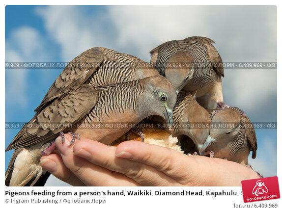 Купить «Pigeons feeding from a person's hand, Waikiki, Diamond Head, Kapahulu, St. Louis, Honolulu, Oahu, Hawaii, USA», фото № 6409969, снято 5 февраля 2013 г. (c) Ingram Publishing / Фотобанк Лори