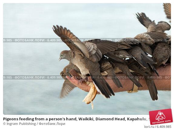 Купить «Pigeons feeding from a person's hand, Waikiki, Diamond Head, Kapahulu, St. Louis, Honolulu, Oahu, Hawaii, USA», фото № 6409985, снято 4 февраля 2013 г. (c) Ingram Publishing / Фотобанк Лори