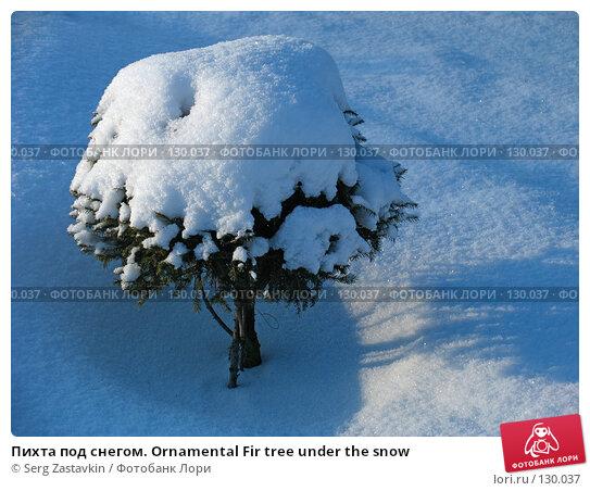 Пихта под снегом. Ornamental Fir tree under the snow, фото № 130037, снято 1 декабря 2005 г. (c) Serg Zastavkin / Фотобанк Лори