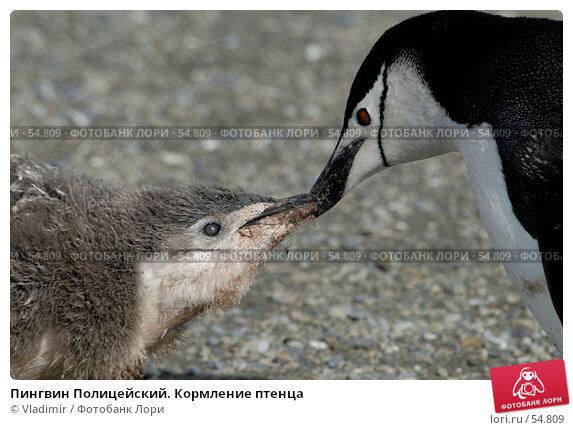 Пингвин Полицейский. Кормление птенца, фото № 54809, снято 6 февраля 2007 г. (c) Vladimir / Фотобанк Лори