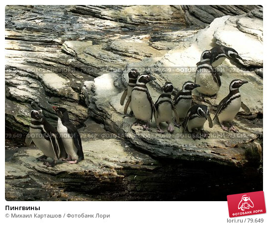 Пингвины, эксклюзивное фото № 79649, снято 10 августа 2007 г. (c) Михаил Карташов / Фотобанк Лори