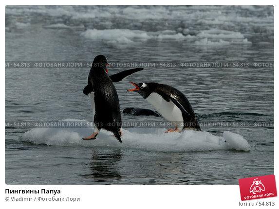 Пингвины Папуа, фото № 54813, снято 25 декабря 2006 г. (c) Vladimir / Фотобанк Лори