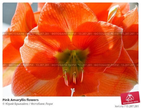 Купить «Pink Amaryllis flowers», фото № 13287281, снято 28 марта 2014 г. (c) Юрий Брыкайло / Фотобанк Лори