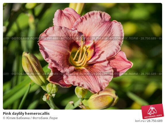 Купить «Pink daylily hemerocallis», фото № 28750689, снято 12 июля 2018 г. (c) Юлия Бабкина / Фотобанк Лори