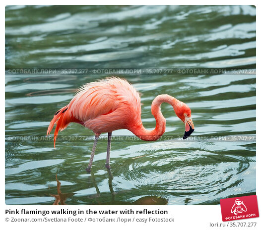 Pink flamingo walking in the water with reflection. Стоковое фото, фотограф Zoonar.com/Svetlana Foote / easy Fotostock / Фотобанк Лори