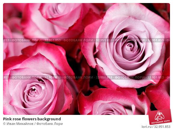 Pink rose flowers background. Стоковое фото, фотограф Иван Михайлов / Фотобанк Лори