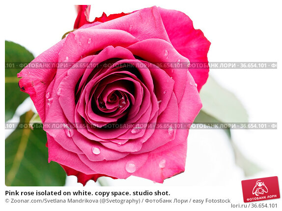 Pink rose isolated on white. copy space. studio shot. Стоковое фото, фотограф Zoonar.com/Svetlana Mandrikova (@Svetography) / easy Fotostock / Фотобанк Лори