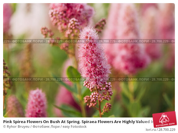 Купить «Pink Spirea Flowers On Bush At Spring. Spiraea Flowers Are Highly Valued In Decorative Gardening And Forestry Management. The Plant Is Widely Used In Landscaping And Organizations Hedges.», фото № 28700229, снято 17 июня 2016 г. (c) easy Fotostock / Фотобанк Лори