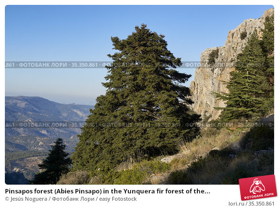 Pinsapos forest (Abies Pinsapo) in the Yunquera fir forest of the... Стоковое фото, фотограф Jesús Noguera / easy Fotostock / Фотобанк Лори
